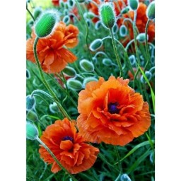DIAMOND PAINTING KIT POPPIES FIELD WD012