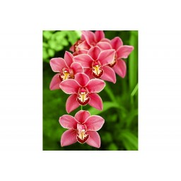DIAMOND PAINTING KIT CIMBIDIUM WD033