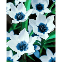 DIAMOND PAINTING KIT BLUE EYE TULIPS WD034 Pre-order only