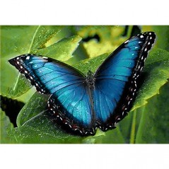 DIAMOND PAINTING KIT BLUE MORPHO WD055