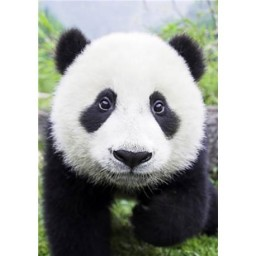 DIAMOND PAINTING KIT CURIOUS PANDA WD074