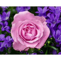 DIAMOND PAINTING KIT GARDEN ROSE WD2308